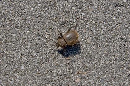 Wooly Darkling Beetle