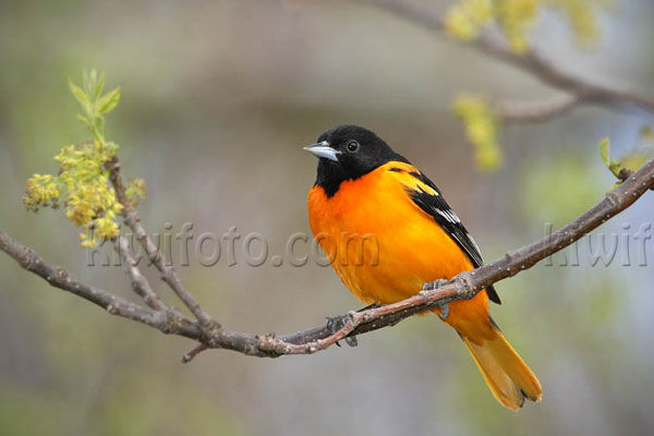 Baltimore Oriole, Crane Creek, Ohio