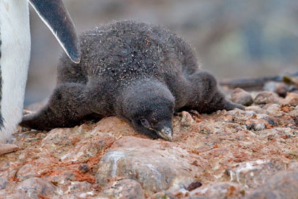 Adelie Penguin (chick)