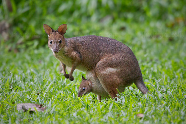 Agile Wallaby Video