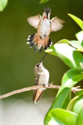 Allen's Hummingbird Photo @ Kiwifoto.com