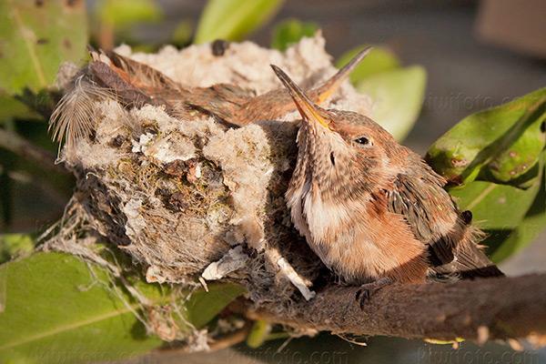 Allen's Hummingbird @ Marina del Rey, CA