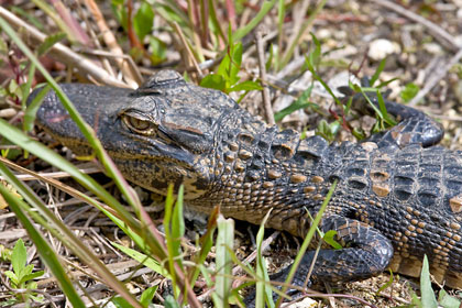 American Alligator Photo @ Kiwifoto.com
