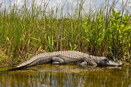 American Alligator Picture @ Kiwifoto.com