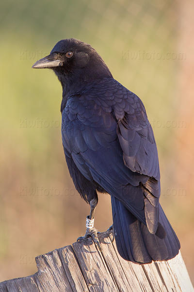 American Crow Photo @ Kiwifoto.com