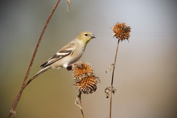 American Goldfinch Photo @ Kiwifoto.com