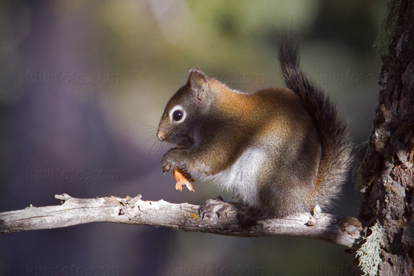 American Red Squirrel Photo @ Kiwifoto.com