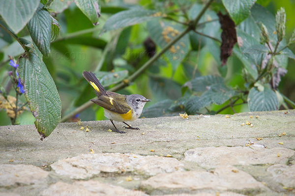American Redstart @ Rocklands Bird Sanctuary, Montego Bay, Jamaica