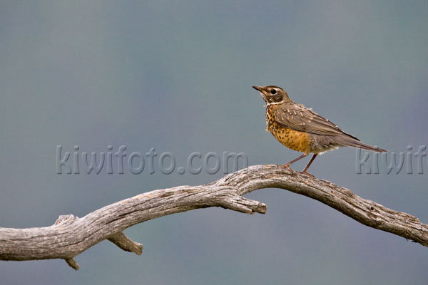 American Robin Photo @ Kiwifoto.com