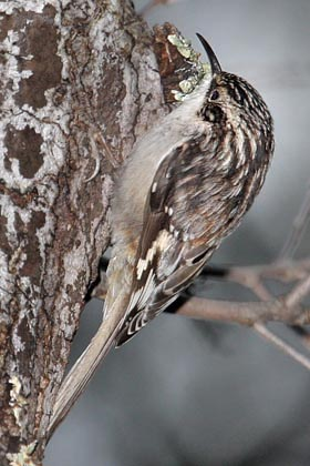 American Tree Creeper Picture @ Kiwifoto.com