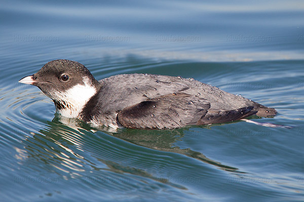 Ancient Murrelet Photo @ Kiwifoto.com