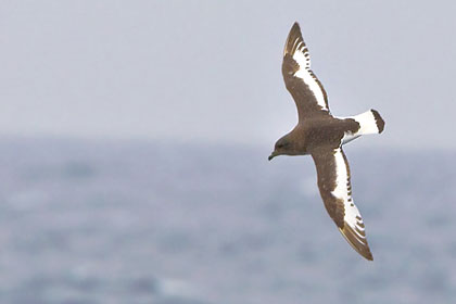 Antarctic Petrel Photo @ Kiwifoto.com