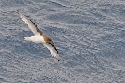 Antarctic Petrel Photo