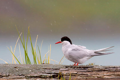Antarctic Tern Photo @ Kiwifoto.com