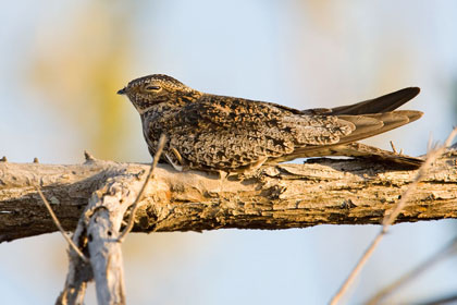 Antillean Nighthawk Photo @ Kiwifoto.com