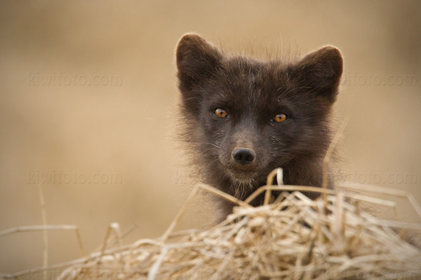 Arctic Fox Photo @ Kiwifoto.com