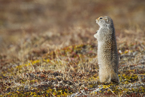 Arctic Ground Squirrel Image @ Kiwifoto.com