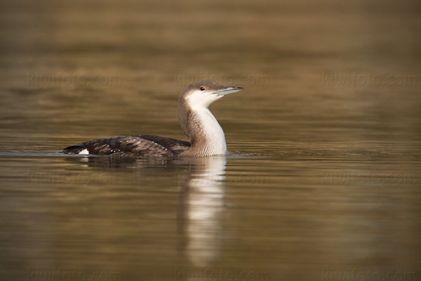 Arctic Loon Photo @ Kiwifoto.com
