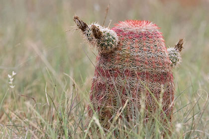 Arizona Barrel Cactus Photo @ Kiwifoto.com