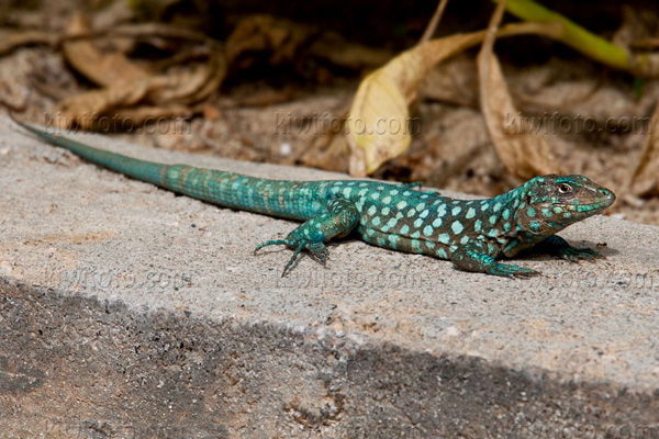 Aruban Whiptail Lizard Photo @ Kiwifoto.com