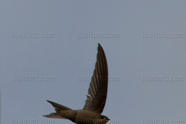 Asian Palm-swift Photo @ Kiwifoto.com