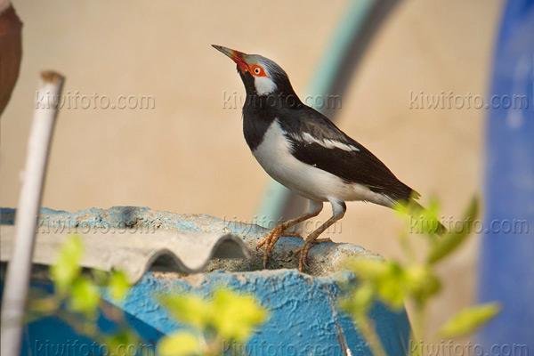 Asian Pied Starling Photo @ Kiwifoto.com