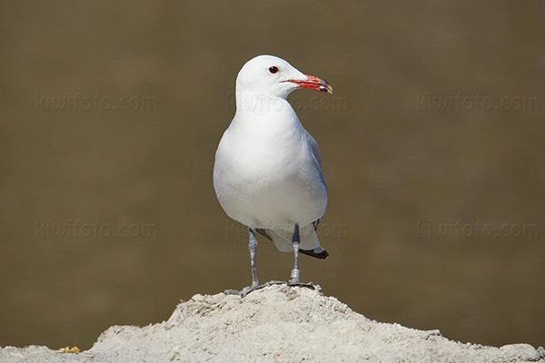 Audouin's Gull @ Ses Salines, Ibiza, Balearic Islands, Spain
