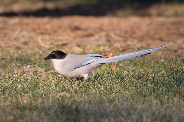 Azure-winged Magpie Photo @ Kiwifoto.com