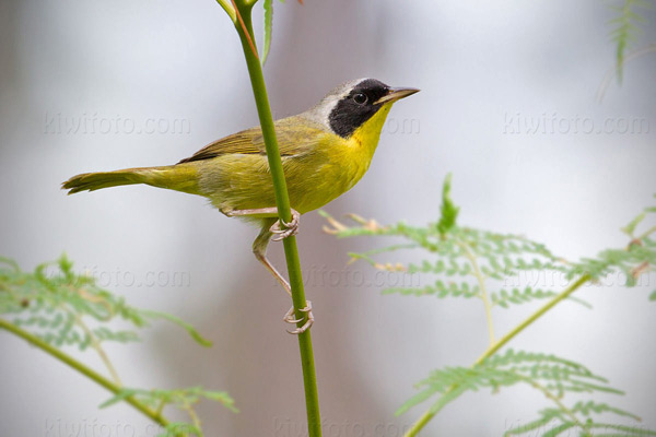 Bahama Yellowthroat, Andros Island