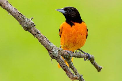 Baltimore Oriole Photo @ Kiwifoto.com