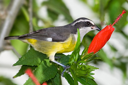 Bananaquit Photo @ Kiwifoto.com