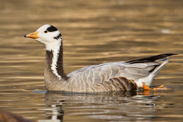 Bar-headed Goose Photo @ Kiwifoto.com