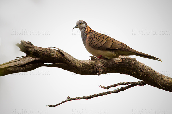 Bar-shouldered Dove Photo @ Kiwifoto.com