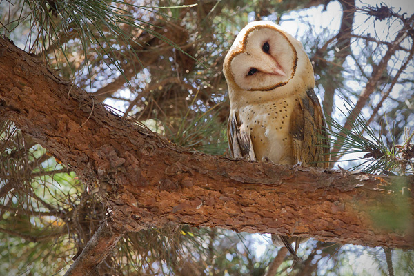 Barn Owl Picture