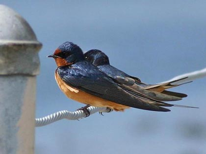 Barn Swallow Picture @ Kiwifoto.com