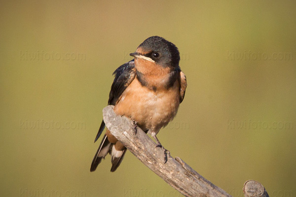 Barn Swallow (juvenile)