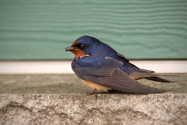 Barn Swallow Photo @ Kiwifoto.com