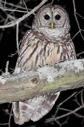 Barred Owl Picture @ Kiwifoto.com