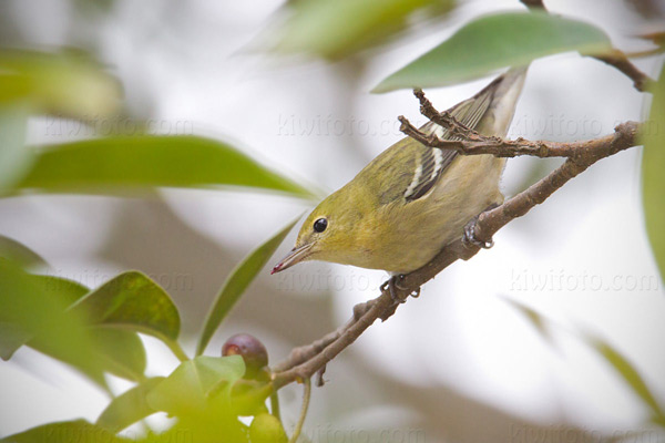 Bay-breasted Warbler (HY)