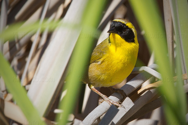 Belding's Yellowthroat Photo @ Kiwifoto.com