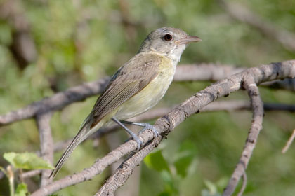 Bell's Vireo Picture @ Kiwifoto.com