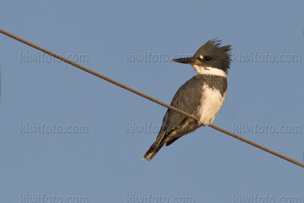 Belted Kingfisher Picture @ Kiwifoto.com