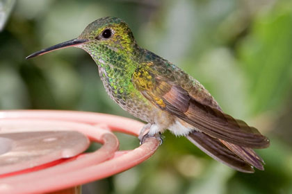 Berylline Hummingbird Photo @ Kiwifoto.com
