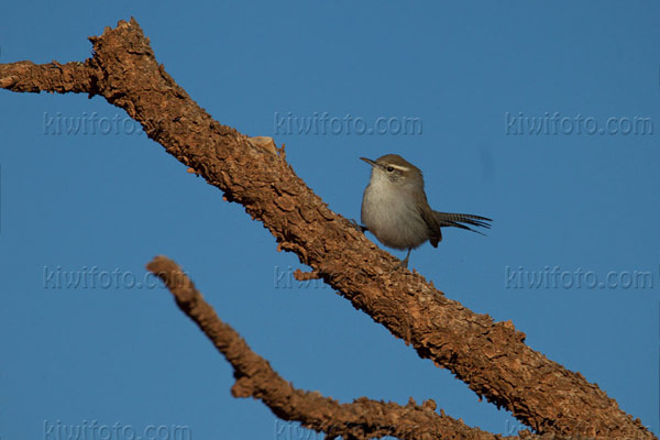 Bewick's Wren Photo @ Kiwifoto.com