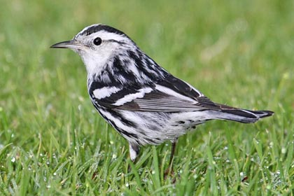 Black-and-white Warbler Picture @ Kiwifoto.com