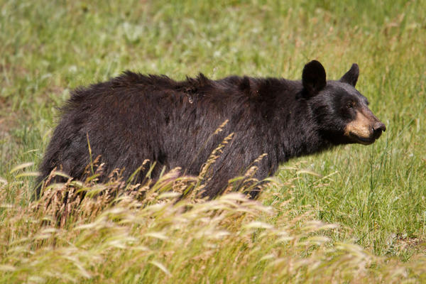Black Bear Picture @ Kiwifoto.com