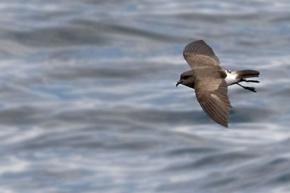 Black-bellied Storm-Petrel Image