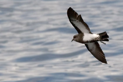 Black-bellied Storm-Petrel Picture