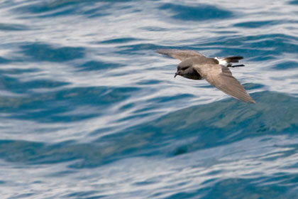 Black-bellied Storm-Petrel Photo