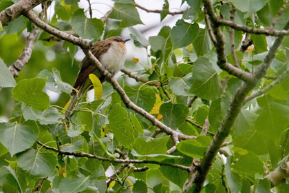 Black-billed Cuckoo Picture @ Kiwifoto.com
